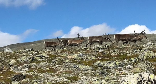 Reindeer on the route