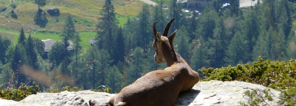 A chamois on a rock
